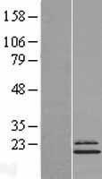 NBL1-13563 - Ndufs4 Lysate