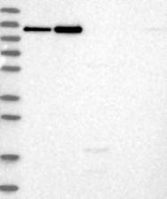 NBP1-89651 - Neogenin