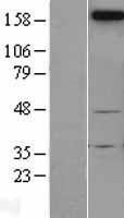 NBL1-13591 - Neogenin Lysate