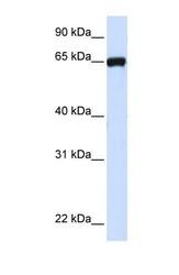 NBP1-59669 - LRRC4C / NGL1