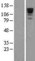 NBL1-14688 - Neurabin 1 Lysate