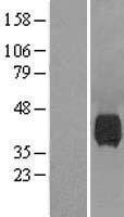NBL1-13594 - Neuraminidase Lysate