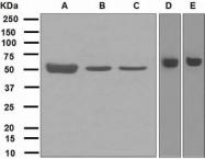 NBP1-95531 - Neuregulin 3