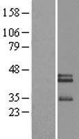 NBL1-13894 - Neurexophilin 3 Lysate