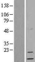 NBL1-13797 - Neuritin Lysate