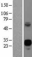 NBL1-13604 - Neurogenin3 Lysate