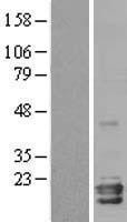 NBL1-13631 - Neuroglobin Lysate