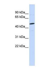 NBP1-59341 - Neuroglycan C