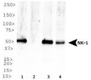 NB300-119 - Tachykinin receptor 1 (TACR1)