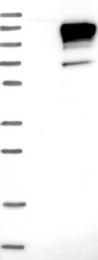 NBP1-90080 - Neuroligin 3
