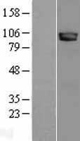 NBL1-13666 - Neuroligin 3 Lysate
