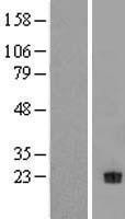NBL1-13830 - Neurotrophin 4 Lysate