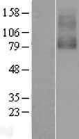 NBL1-09184 - Nicotinic Acetylcholine Receptor alpha 7 Lysate