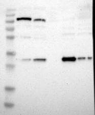 NBP1-87481 - NIT1