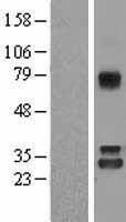 NBL1-13648 - Nitrilase 1 Lysate