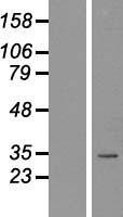 NBL1-13661 - Nkx2.2 Lysate