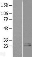 NBL1-14553 - Nociceptin Lysate