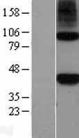NBL1-13706 - Nodal Lysate