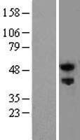 NBL1-15614 - Nogo Receptor Lysate
