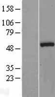 NBL1-13730 - Nova1 Lysate