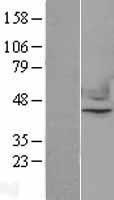 NBL1-13612 - Nuclear Factor Erythroid Derived 2 Lysate