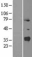 NBL1-13765 - Nuclear Receptor SHP Lysate