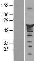 NBL1-13848 - Nucleobindin 1 Lysate