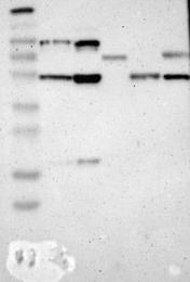 NBP1-87383 - Nucleobindin-2