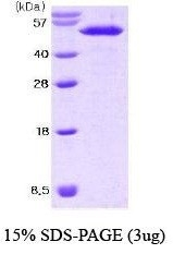 NBC1-18398 - Nucleobindin-2