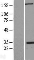 NBL1-13748 - Nucleophosmin Lysate