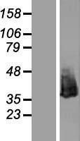 NBL1-13749 - Nucleophosmin Lysate