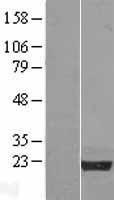 NBL1-13751 - Nucleoplasmin-3 Lysate