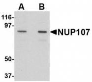 NBP1-76927 - NUP107