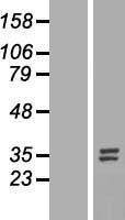 NBL1-13847 - Nucleotide binding protein like Lysate