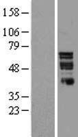 NBL1-13780 - Nurr1 Lysate