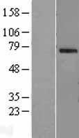NBL1-13897 - OAS2 Lysate