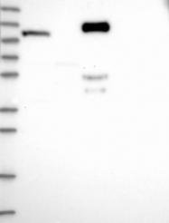 NBP1-85841 - OAS3