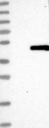 NBP1-88743 - OBFC1