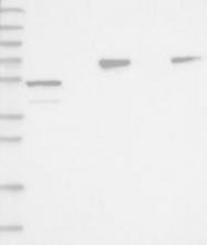 NBP1-88649 - P protein