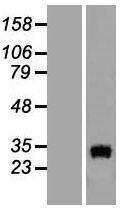 NBL1-13902 - OCEL1 Lysate
