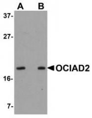 NBP1-77085 - OCIAD2