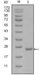 NBP1-51561 - OCT3/4