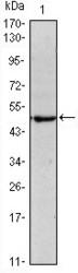 NBP1-51664 - OCT3/4