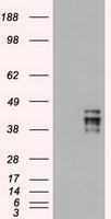 NBP1-47923 - OCT3/4