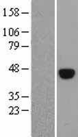 NBL1-14620 - OCT4 Lysate