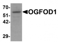 NBP1-76532 - OGFOD1