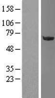 NBL1-13914 - OGFOD1 Lysate
