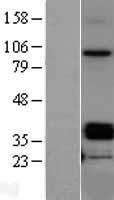 NBL1-13917 - OIF Lysate