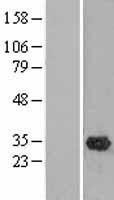 NBL1-13924 - OLAH Lysate