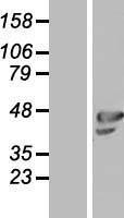 NBL1-13929 - OLFML1 Lysate